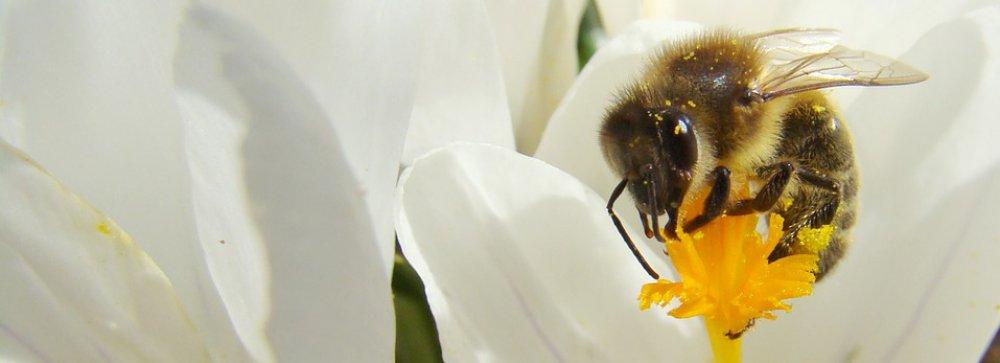 Včely nejsů samotného přirození jako vorlice, ale jakožto lidé, nebo mezi nimi jest tovarištví díla a stavění, a v něm rozum jest a umění.