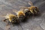 """Včely dokáží """"přemýšlet"""", dokázal vědec experimentem s cukrovou vodou"""