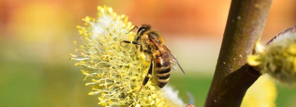 Píchá to a dá se to vykouřit. Co je to? Včely.