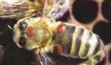Podzimní ošetření včelstev proti varroáze - 2016