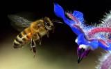 Květy komunikují se včelami pomocí elektrického pole – hlásí, že mají nektar