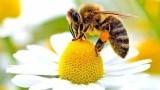Včela překvapila vědce. Postavila si hnízdo jen z plastového odpadu