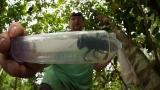 Největší včelu na světě objevili v Indonésii po téměř 40 letech