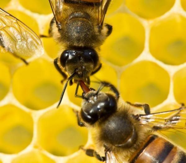 Univerzální jazyk včel: Vědci úspěšně dešifrovali včelí esperant