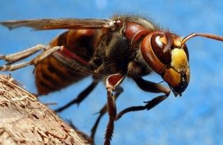 Jak moc je nebezpečné bodnutí sršně ve srovnání s vosou nebo včelou?