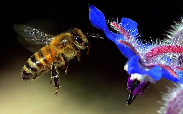 Zajímavosti: Květy komunikují se včelami pomocí elektrického pole – hlásí, že mají nektar